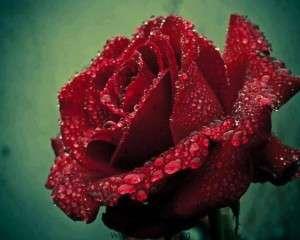 عکس-گل-های-دوست-داشتنی-و-بسیار-زیبا-30
